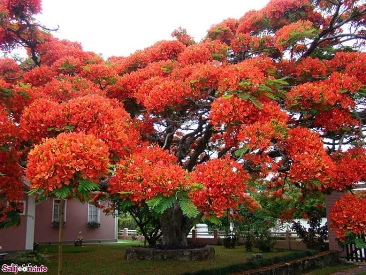 Flamboyant-Tree-Brazil
